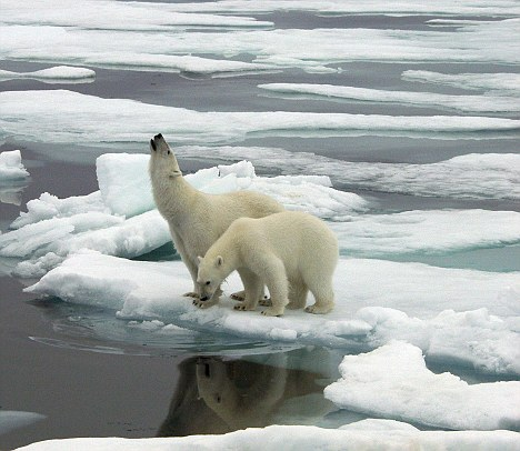 Polar bears on the melted ice of the Arctic Circle